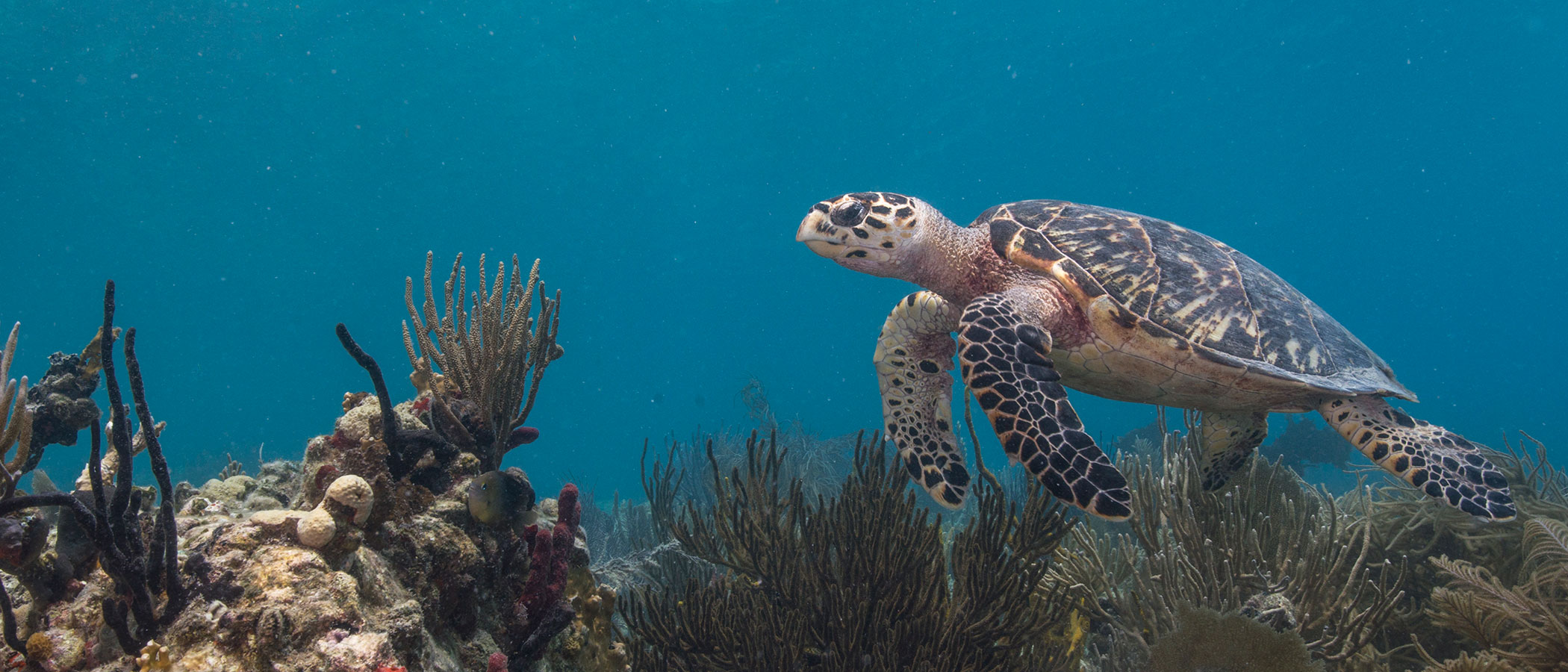 A sea turtle swimming above a coral reef.