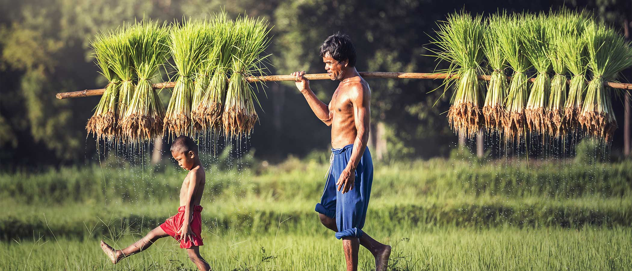 Man and child carrying rice plants tied to a long pole.