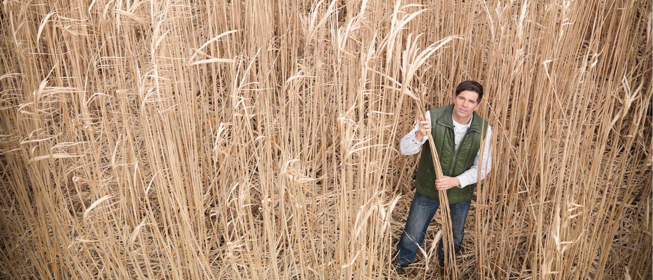 Farmer in a field of Miscanthus at harvest time.