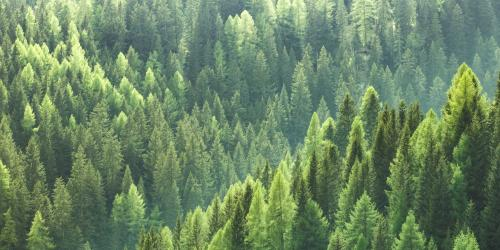 Densely packed young green pine trees covering multiple ridges of a hillside.