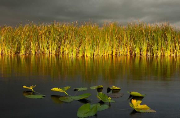 Sawgrasses and lilies in the Everglades.